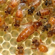 """Пчеломатка плодная, порода """"Итальянка"""". На 2021 год."""