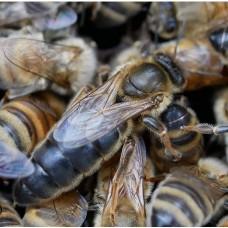 """Пчеломатка плодная, порода """"Карпатка"""" На 2021 год."""