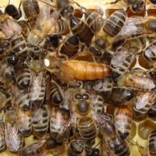 """Пчеломатка НЕплодная, порода """"Бакфаст"""". На 2021 год."""