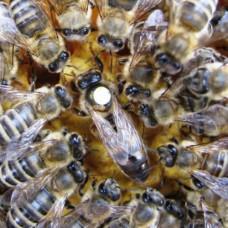"""Пчеломатка искусственного оплодотворения, порода """"Карника"""". С ПРОВЕРКОЙ НА ЗАСЕВ."""